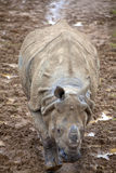Young Indian Rhinoceros Stock Images