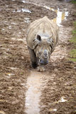 Young Indian Rhinoceros Royalty Free Stock Photography