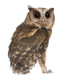 Young Indian Scops Owl, Otus bakkamoena Royalty Free Stock Photography