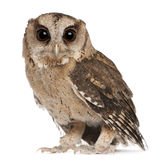 Young Indian Scops Owl, Otus bakkamoena Stock Image