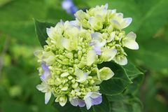 Young inflorescence of blue hydrangea flowers royalty free stock photos