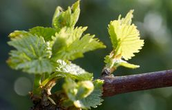 Sprout of Vitis vinifera, grape vine. New leaves sprouting at the beginning of spring Stock Images