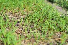 ํYoung Ipomoea. Ipomoea is the largest genus in the flowering plant family Convolvulaceae, with over 500 species. It is a large and diverse group with common Stock Image