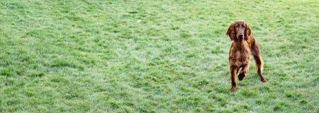 Young Purebred Irish Setter Puppy Canine Dog Stock Photos