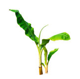 Young isolated green banana tree on white Royalty Free Stock Photos