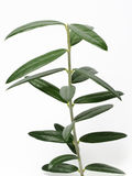 Young isolated Olive tree. Young olive tree on a white background Royalty Free Stock Photography