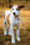 Young Istrian Shorthaired Hound dog standing in Royalty Free Stock Images