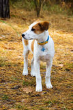 Young Istrian Shorthaired Hound dog standing in Stock Photos