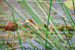 Young Jacana Bird peaking through the tall grass at Corroboree wetlands, NT, Australia Royalty Free Stock Photo