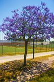 Young jacaranda in Flower at the University Stadium, Lisbon. A young jacaranda in flower at the University Stadium area in Lisboa, Portugal. The jacaranda is a Royalty Free Stock Photos