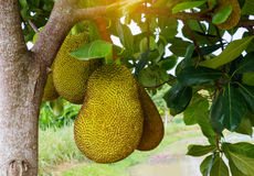 Young jack fruits on tree Royalty Free Stock Images