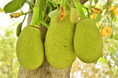 Young jack fruits on the tree Royalty Free Stock Images