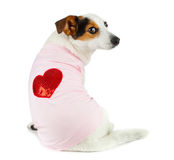 Young Jack Russel with pink dress Stock Photos