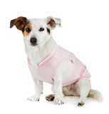 Young Jack Russel with pink dress Royalty Free Stock Photo
