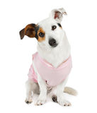 Young Jack Russel with pink dress Stock Image