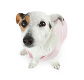 Young Jack Russel with pink dress Royalty Free Stock Images