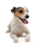Young jack russel terrier. Portrait of a puppy purebred jack russel terrier on a white background Stock Image