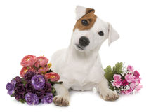 Young jack russel terrier Royalty Free Stock Photography
