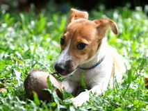 Young Jack Russel terrier Stock Photography