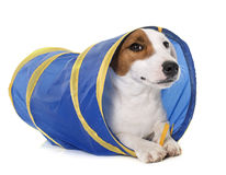 Young jack russel terrier in tunnel Stock Photo