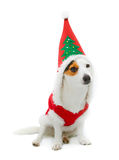 Young Jack Russel  wearing santa claus dress Royalty Free Stock Photo