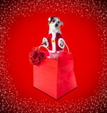 Young Jack Russel wearing santa claus dress in red shopping bag Stock Images