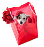 Young Jack Russel wearing santa claus dress in red shopping bag Stock Photos