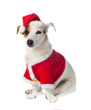 Young Jack Russel wearing santa claus dress Stock Photography
