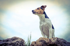 YOUNG JACK RUSSELL royalty free stock photography