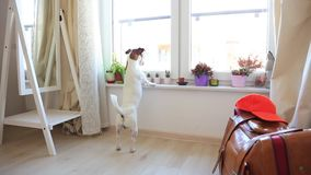 Young jack russell terier dog looking in a window stock footage