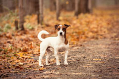 Young Jack Russell Terrier Royalty Free Stock Photos