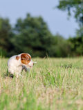 Young jack russell terrier dog in a beautiful scenery on a meadow Royalty Free Stock Photos