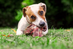 Young Jack Russell Terrier Dog Eat A Raw Bone. Young Jack Russell Terrier Dog Lying On A Meadow And Eat A Raw Bone Royalty Free Stock Photo