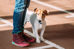 Young Jack Russell Terrier Dog on Floor at  feet of man Stock Photo