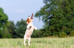 Young jack russell terrier dog jumps up, stopped motion Royalty Free Stock Image