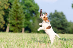 Young jack russell terrier dog jumps up, stopped motion Royalty Free Stock Images