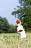 Young jack russell terrier dog jumps up, stopped motion Stock Photo