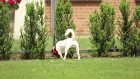 Dog play on green lawn stock video footage