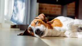 Young jack russell terrier dog sleeping on a floor. In room near window stock photography