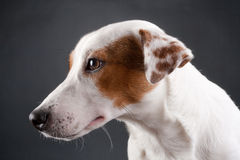 Young Jack Russell Terrier head Royalty Free Stock Image
