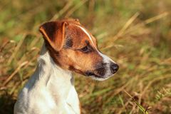 Young Jack Russell terrier in low grass lit by sun, detail on he. R head looking to right side royalty free stock image