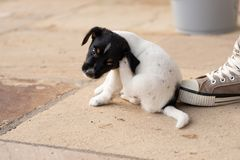 Young Jack Russell Terrier puppy dog 7,5 weeks old.  With the paw, the dog is scratching stock photos