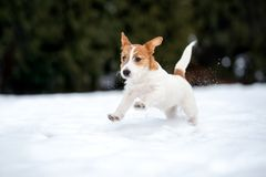 Jack russell terrier puppy playing outdoors in winter. Young jack russell terrier puppy outdoors stock images