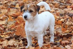 Young jack russell terrier is standing in the autumn foliage. Stock Images