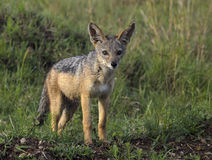 Young Jackal Pup. A young Jackal pup observes the tourists on safari in Serengeti Park Reserve, East Africa Royalty Free Stock Photography