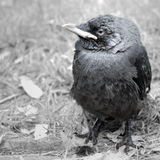 Young Jackdaw. A young Jackdaw just left its nest. Grayscale image with a touch of color preserved Stock Photography