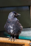 Young jackdaw with beak open Royalty Free Stock Photo