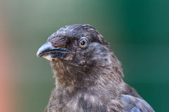 Young jackdaw Royalty Free Stock Photo