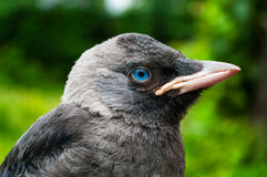 Young Jackdaw looking at camera by blue eye Royalty Free Stock Photography