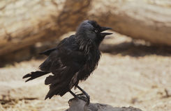 Young jackdaw. Stock Images